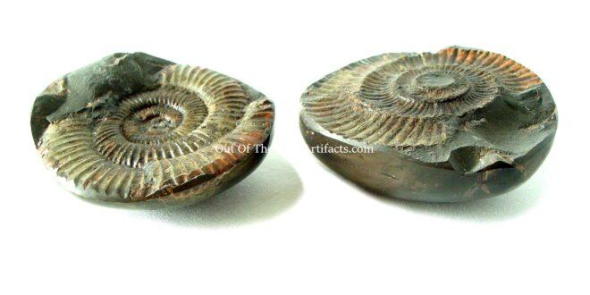 Dactylioceras Ammonite