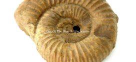 Pavlovia Ammonite