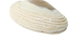 Bivalve Clam Shell