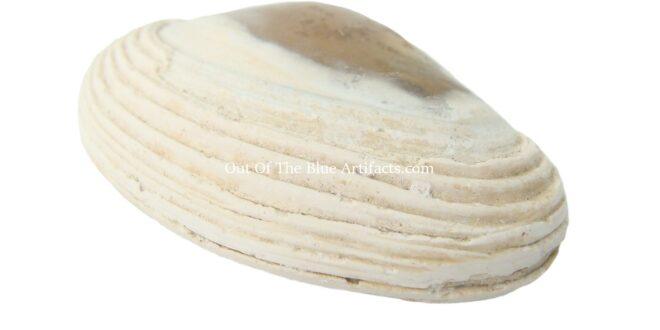 Bivalve Clam Shell